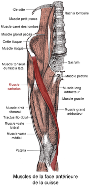 180px-Muscle_sartorius.png